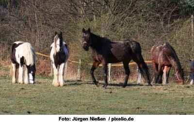 Pferdeherde - ein neues Pferd zieht ein