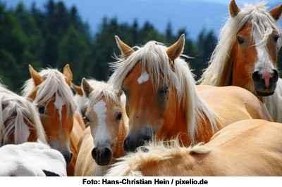 Haflinger - Foto: © Hans-Christian Hein / pixelio.de
