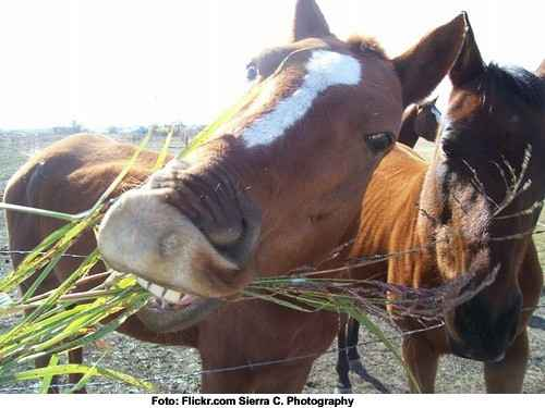 Pferd fressend