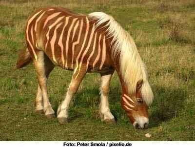 Zebrastreifen gegen Bremsen am Pferd