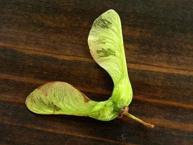 Fruchstand Bergahorn: die Flügelchen bilden ein V, umschließen einen spitzen Winkel.