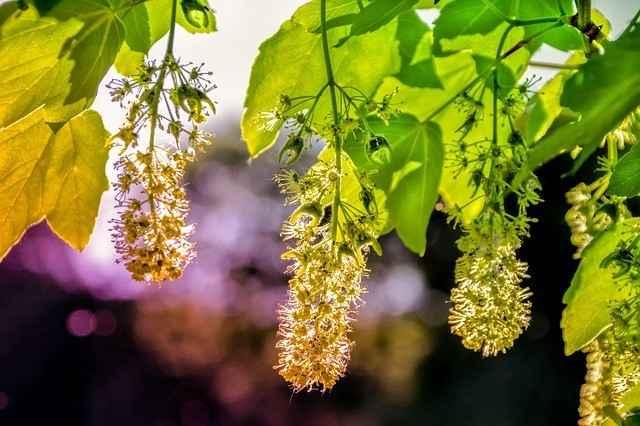 Blütenstand des Bergahorn