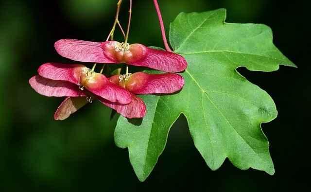 Feldahorn Blätter und Fruchtstände: Ausgestreckte Form, abgerundete Flügelchen und häufig, aber nicht immer, rot gefärbt wenn sie reif sind.