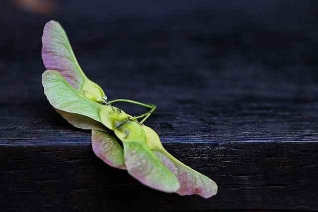 Fruchtstand des Spitzahorn: die Flügelchen liegen fast in einer Geraden und laufen am Ende spitz zu